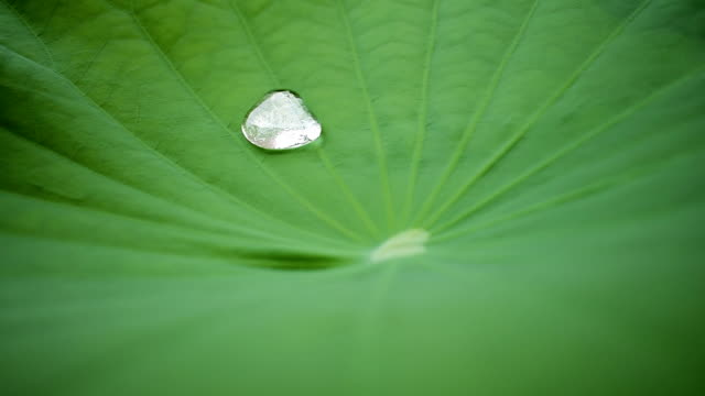 Water drop on the lotus leaf