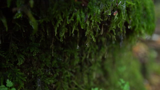 water drop running down the moss growing on the side of the rock. green moss with water droplet video - moss stock videos & royalty-free footage