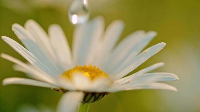 cu water droplet falling on white daisy flower - нивяник стоковые видео и кадры b-roll