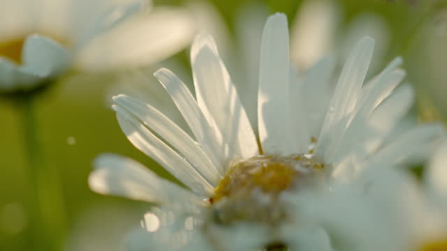 CU Water droplet falling on white daisy flower