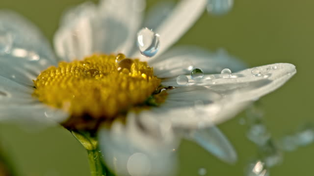 CU Water droplets falling on white and yellow daisy flower CU Water droplets falling on white and yellow daisy flower. Slow Motion. less than 10 seconds stock videos & royalty-free footage