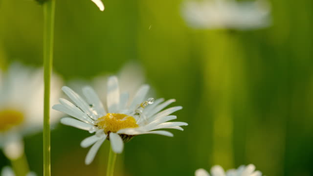 CU Water droplets falling on white and yellow daisy flower