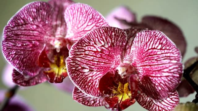 Water droplets on orchid. Close up of a colorful orchid's blossom video