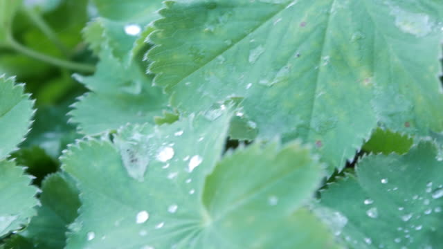 Water droplets on the leaves video
