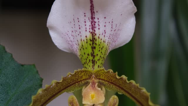 water droplets. orchid flowers with droplets of water. Orchid Paphiopedilum Leeanum closeup. The flower of Slipper Orchid in bloom
