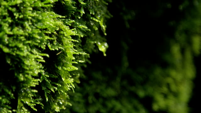 CLOSE UP: Water drops dripping off a wet moss video