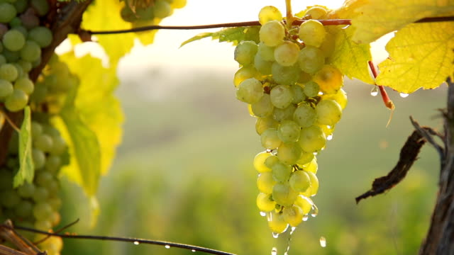 HD SUPER SLOW-MO: Water Drops Falling Off Grapes video
