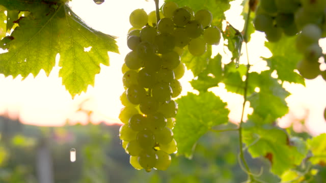 CU DS Water Drops Falling Off Grapes video