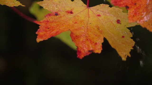 slow motion close up water drops falling on vibrant red autumn leaves after rain - autumn stock videos & royalty-free footage