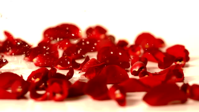 Water drops falling onto red rose petals video
