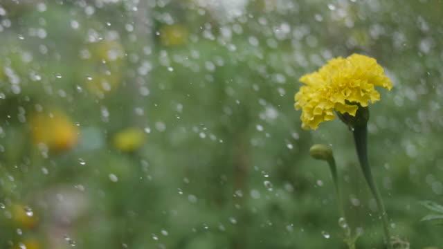 vatten droppar faller på gul blomma. - gröda bildbanksvideor och videomaterial från bakom kulisserna
