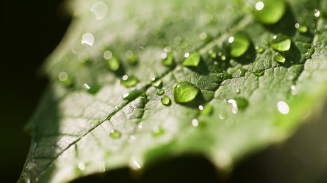 vídeos de stock e filmes b-roll de water drops on leaf surface - grapes