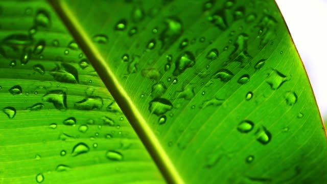 water drops on lush green banana palm leaf during summer in rainforest