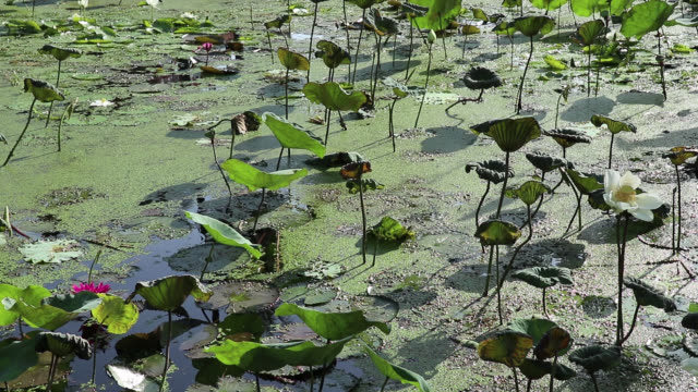 Water garden morning view. Lotus and water lily field. Cormorant dives. Water garden morning view. Pond covered with Lotus, water lily and floating duckweeds. Cormorant bird dives for fish in the background. jul stock videos & royalty-free footage