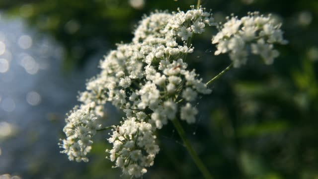 Water hemlock (Conium maculatum) wildflower. Water hemlock (Conium maculatum) wildflower. Closeup of  hemlock  water flowers on meadow on a blurred background. poisonous stock videos & royalty-free footage