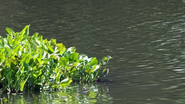 water hyacinth floating in the reservoir video