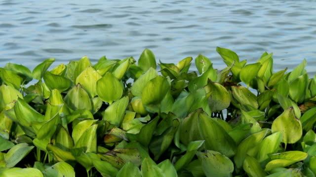 Water Hyacinth in River Water hyacinth in river. riverbank stock videos & royalty-free footage