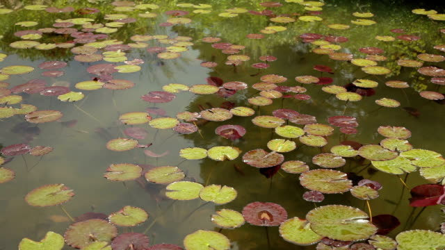 Water Lilies In A Pond video