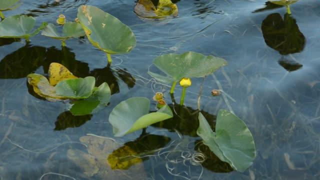 water lilies в болото - болото стоковые видео и кадры b-roll