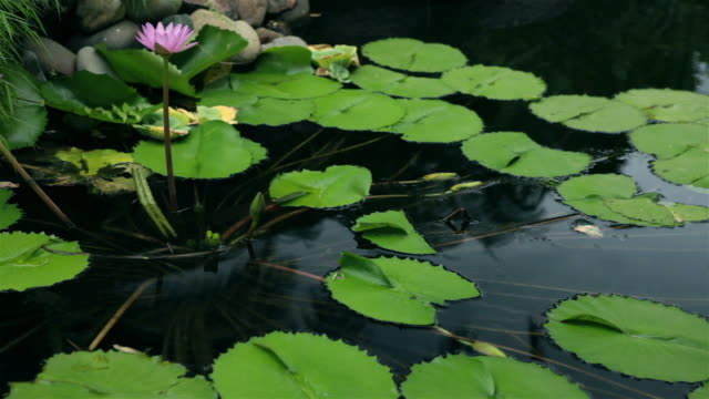 Water lilly video