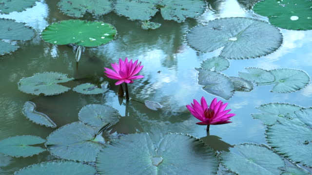 Water lily blooming in pond at morning
