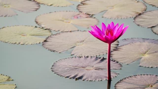 vídeos de stock, filmes e b-roll de nenúfar floresce na lagoa de manhã. - lotus