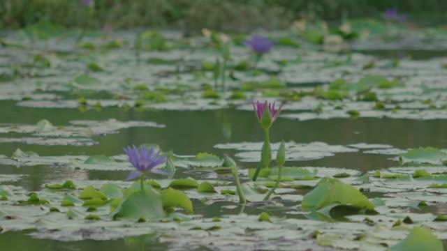 4K: Water lily blooming the Lake at water drop.