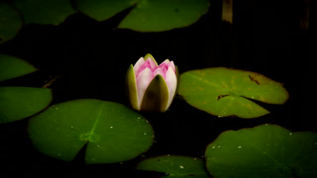Water lily blooming timelapse video