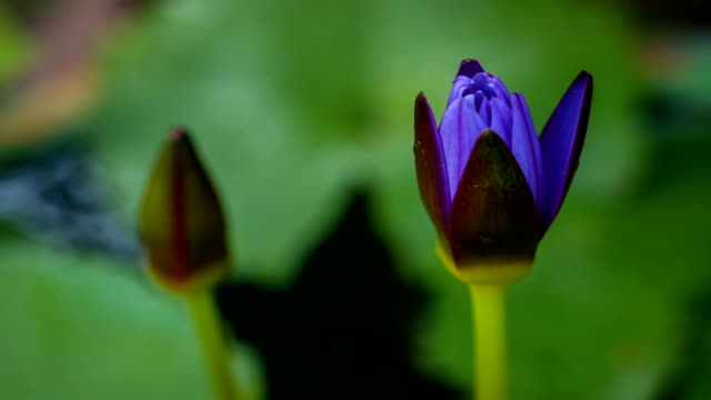 Water lily blooming (time lapse) Water lily blooming (time lapse) lotus position stock videos & royalty-free footage