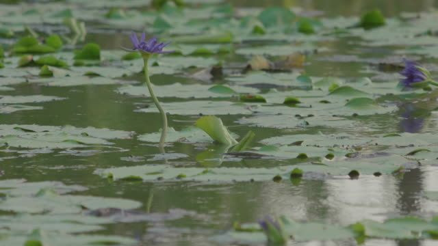 4K: Water lily blooming with Bird in the Lake at water drop.