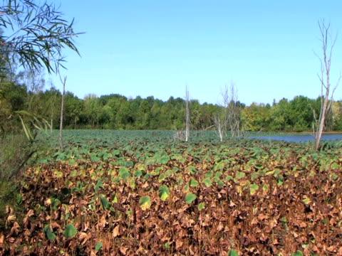 Water Lily Field in Autumn (HD_link_below) video