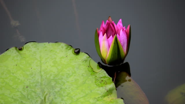 Royalty free lotus flower hd video 4k stock footage b roll istock water lily flower blooming time lapse video mightylinksfo