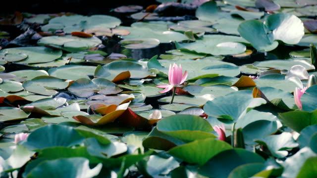 Water Lily Flowers,at Showa Memorial Park,Tokyo,Japan video
