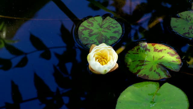 water lily on the lake time lapse of lily on the pond, time lapse of water lily on the lake, Time lapse opening of water lily flower, Lotus flower opening lotus position stock videos & royalty-free footage