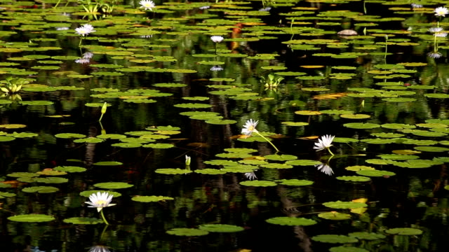 Water Lily Pond video