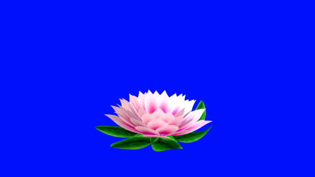 Water lily timelapse opening, against Blue Screen Chromakey