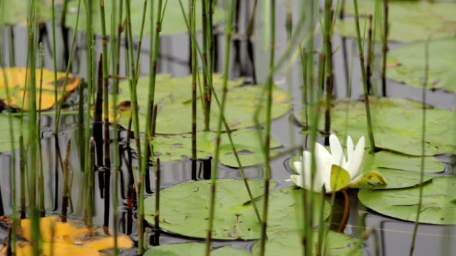Water Lily Water lily and pads amongst reeds pond stock videos & royalty-free footage