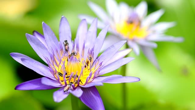 Water lily with bees Water lily with bees animal limb stock videos & royalty-free footage