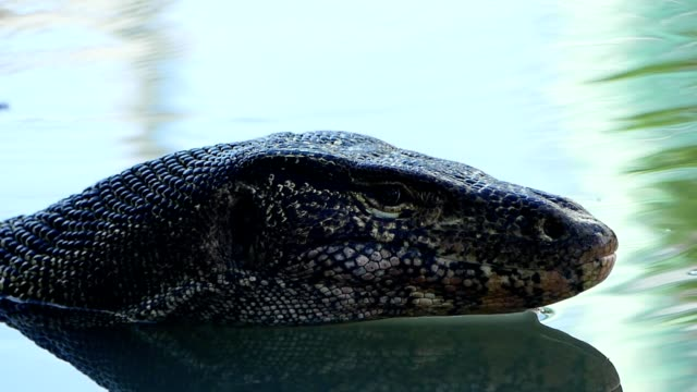 Water monitor in the pond video