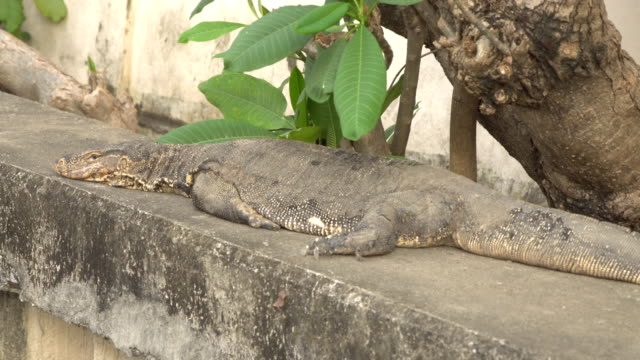 Water monitor laying on ground