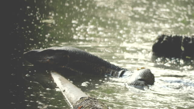 Water monitor swimming in river