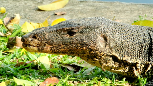 Water monitor Lizard in Bangkok, Thailand. zoology stock videos & royalty-free footage