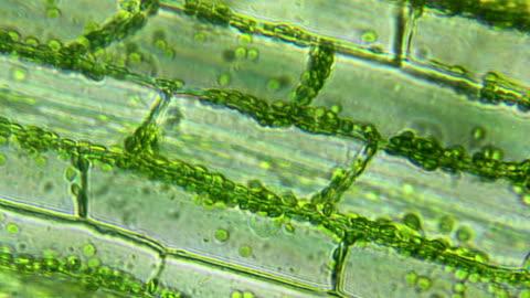 vidéos et rushes de feuille de plante d'eau, vue microscopique - biologie