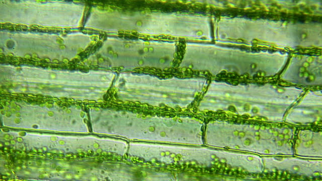 Water plant leaf, microscopic view Water plant leaf, microscopic view plant cell stock videos & royalty-free footage