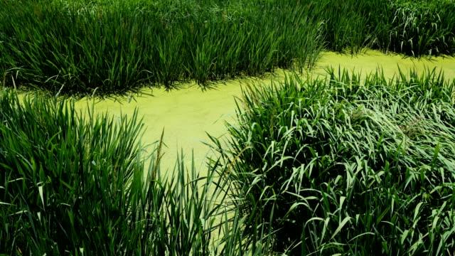 Water plants swaying in Lugu Lake, China Water plants swaying in Lugu Lake, China duckweed stock videos & royalty-free footage