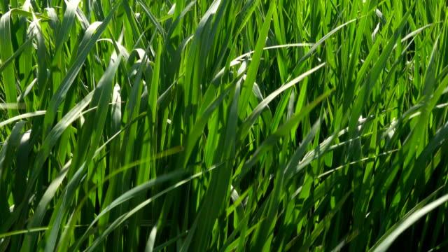 Water plants swaying in wetland Water plants swaying in wetland duckweed stock videos & royalty-free footage