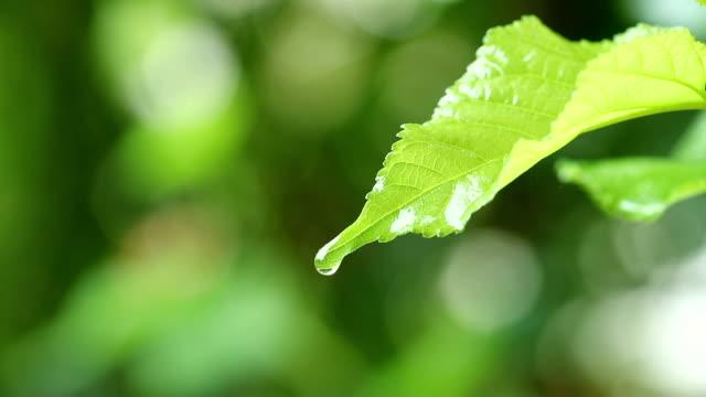 葉から露ドロップ秋間近の自然の背景に新緑の葉と水滴雨 - 水滴点の映像素材/bロール
