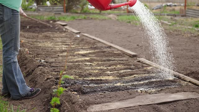 Water slowly pours from red watering can, woman waters seeds in garden bed. video