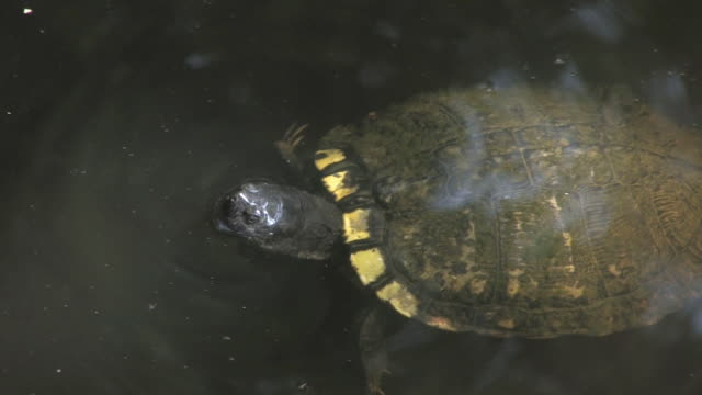 stockvideo's en b-roll-footage met water turtle 4 - hd 30f - minder dan 10 seconden