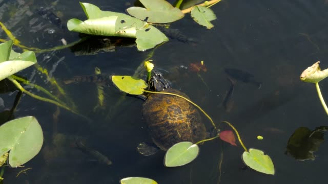 Water turtle eating yellow Lily flower in the Everglades National Park, Florida.